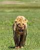 Bloody lioness after a feast, Ngorongoro Caldera, Tanzania