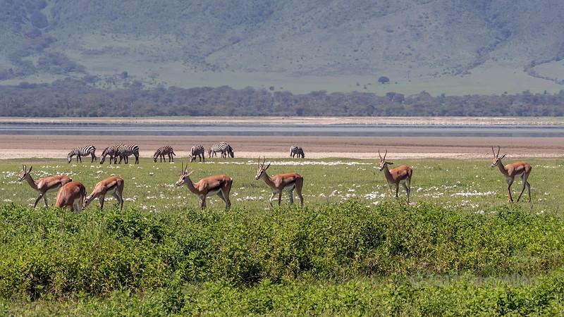 Spring in Ngorongoro with impala and zebras, Ngorongoro Caldera, Tanzania