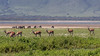 Spring in Ngorongoro with impala and zebras, Ngorongoro Caldera, Tanzania
