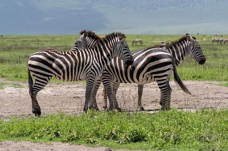 Quartet of zebras????
