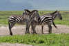 Quartet of zebras????