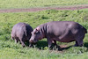 Pair of hippos (Hippopotamus amphibius) grazing in fresh grass in the open, Ngorongoro Caldera, Tanzania