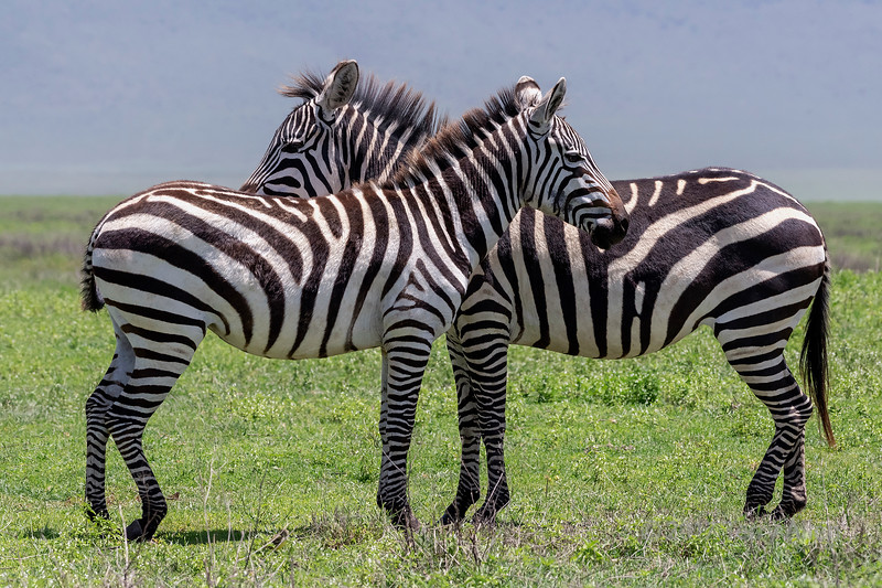 Pair of zebras in the fresh grasses of Ngorongoro Caldera with the crater rim in back,Tanzania
