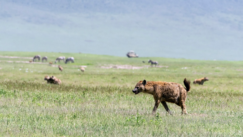 Spotted hyena (Crocuta crocuta) closing in on a lion kill, Ngorongoro Caldera, Tanzania