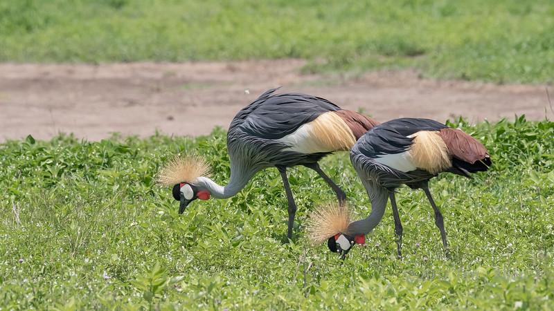Pair of Grey crowned crane (Balearaica regulorullm) feeding in the spring vegetation, Ngorongoro Caldera, Tanzania