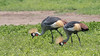 Pair of Grey crowned crane (Balearaica regulorullm) feeding in the spring vegetation, Ngorongoro Caldera, Tanzania