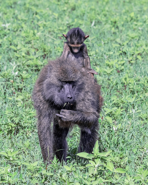 Baby baboon riding on back of grazing mother, Ngorngoro crater, Tanzania
