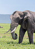 Large muddy elephant grapping a trunk full of grass, Ngorongoro Caldera, Tanzania