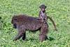 Foraging ollive baboon (Papio anubis) with baby riding on back, Ngorongoro Caldera, Tanzania