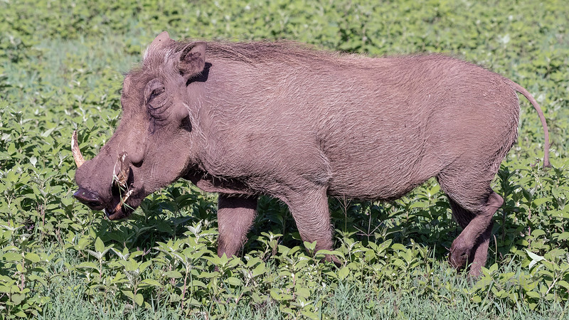 Large male wart hog foraging in the new vegetation, Ngorongoro Caldera, Tanzania