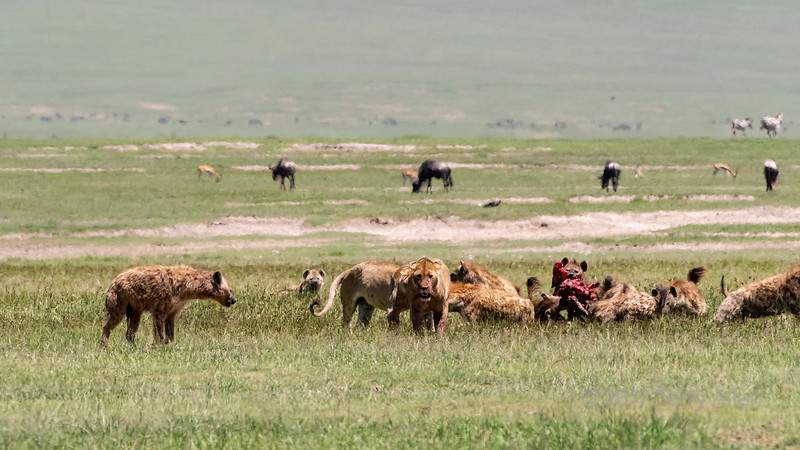 Hyenas devouring a zebra carcass taken from two female lions  in the mid-day heat haze, Ngorongoro Caldera, Tanzania