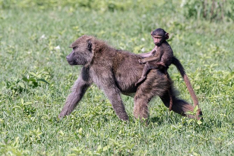 Ride 'em cowboy, a baby olive baboon riding bareback on its mother's back, Ngorongoro Caldera, Tanzania