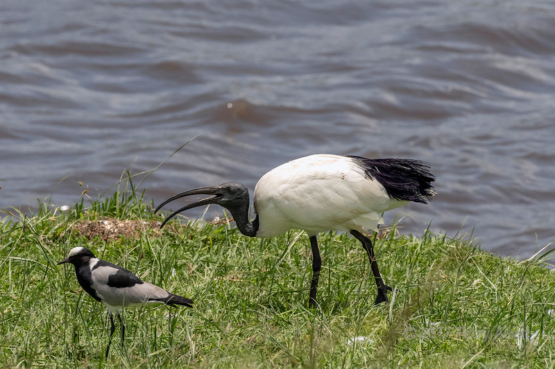 'I' is for Ibis