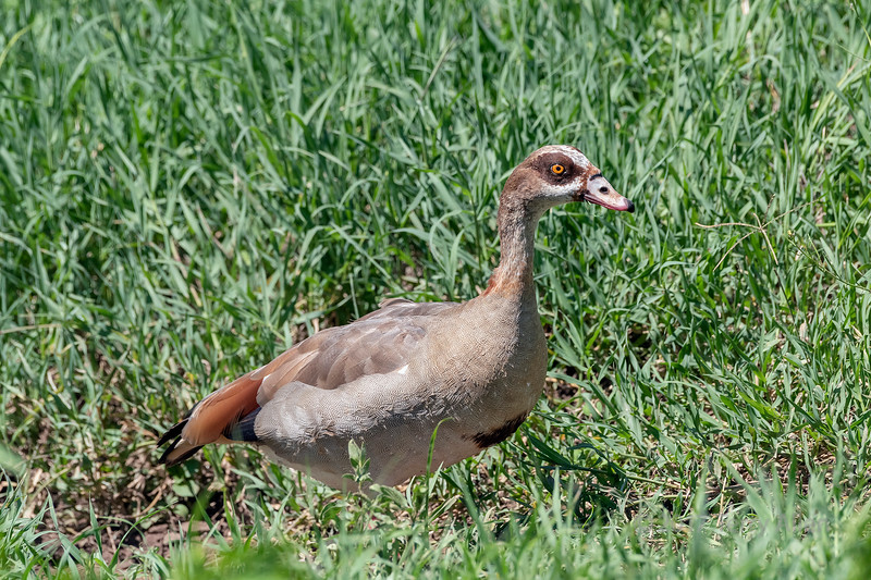 Egyptian goose (Alopochen aegyptiaca) in tall green grass with blades of grass in beak, Ngorongoro Caldera, Tanzania