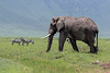 Large elephant walking across the caldera floor with zebra and wildebeest, Ngorongoro Caldera, Tanzania