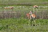 Thomson's gazelles grazing in a field of apring wildflowers, Ngorongoro Caldera, Tanzania