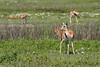 Thomson's gazelles grazing in a field of apring wildflowers, Ngorongoro Caldera, Tanzania