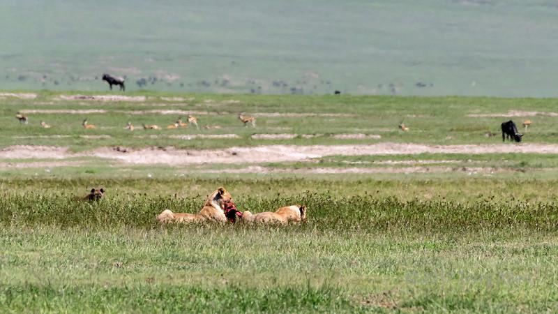Two female lions feasting on a zebra carcass with watching hyena in the mid-day heat haze, Ngorongoro Caldera, Tanzania