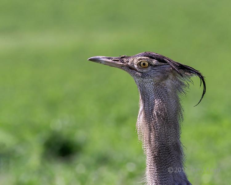 Kori bustard (Ardeotis kori) head shot in profile, Ngorongoro Caldera, Tanzania
