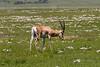 Male impala (Aepyceros melampus) in a wildflower meadow, Ngorongoro Caldera, Tanzania