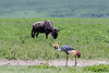 Grey crowned crane (Balearaica regulorullm) walking in front of a grazing Western white-bearded wildebeest, Ngorongoro Caldera, Tanzania