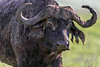 Large old male Cape buffalo with torn ear, Ngorongoro caldera, Tanzania