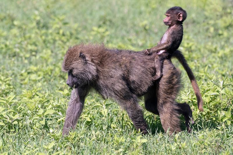 Good riding form, baby baboon rides bareback on foraging mother, Ngorongoro Caldera, Tanzania