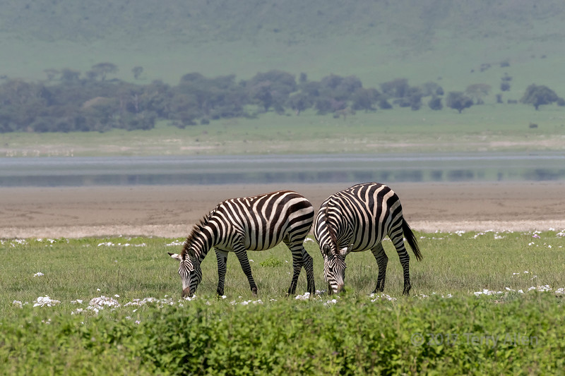 Paiar of zebras grazing side by side in the spring wildflowers, Ngorongoro Caldera, Tanzania