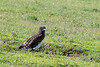 Black-chested snake eagle (Circaetus pectorallis) on the new grass, Ngorongoro Caldera, Tanzania
