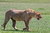 Lioness fresh from a recent zebra kill, Ngorongoro Caldera, Tanzania