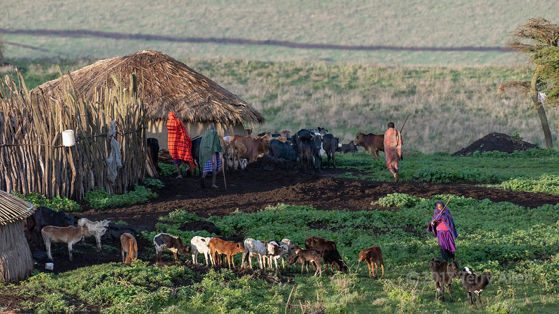 Separating the calves from the cows for the early morning milking, Maasai boma, Ngorongoro Conservation Area, Tanzania