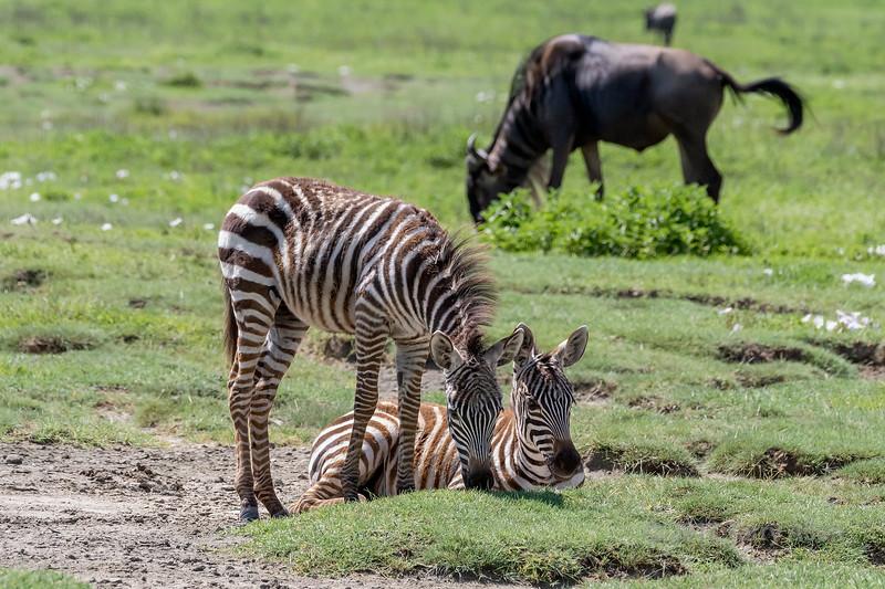 Young zebras and wildebeest in fresh grass, Ngorongoro Caldera, Tanzania