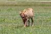 Bloody lioness stuffed from feasting on a zebra kill, Ngorongoro Caldera, Tanzania