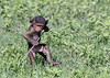 Determined toddler, baby baboon tackles a twig in the lush vegetation, Ngorongoro Caldera, Tanzania