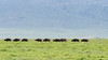 Heat haze with distant line of Cape Buffalo, zebra and flying birds, Ngorongoro Caldera and rim, Tanzania