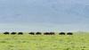 Heat haze with distant line of Cape Buffalo, zebra and flying birds, Ngorongoro Caldera and rim, Tanzania
