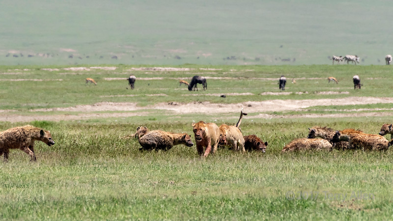 Hyenas taking over a zebra carcass from two female lions  in the mid-day heat haze, Ngorongoro Caldera, Tanzania