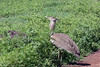 Kori bustard (Ardeotis kori) in the tall spring vegetations, Ngorongoro Caldera, Tanzania