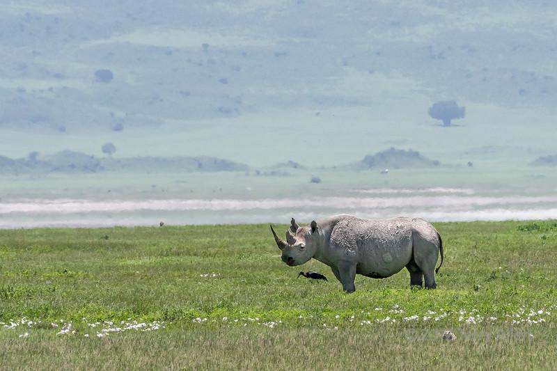 Black rhino (Diceros bicornis) walking through wildflowers, carter rim in background, Ngorongoro Caldera, Tanzania