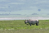 Black rhino (Diceros bicornis) walking through wildflowers, carter rim in background, Ngorongoro Caldera, Tanzania