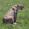 Lioness resting after feasting on a zebra carcass, Ngorongoro Caldera, Tanzania