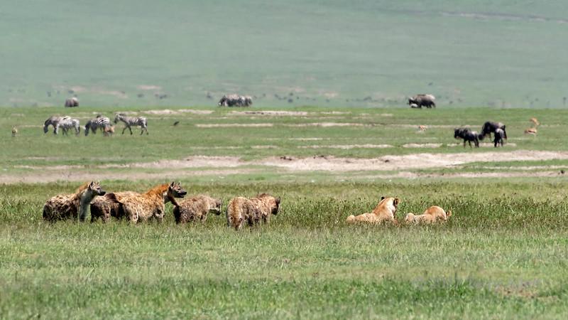 Hyenas harassing two female lions feasting on a zebra carcass in the mid-day heat haze, Ngorongoro Caldera, Tanzania