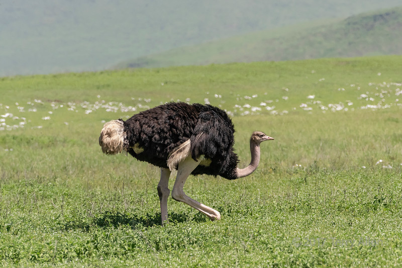 Male ostrich (Struthio camelus), strutting across Ngorongoro caldera  with the caldera rim in back, Tanzania