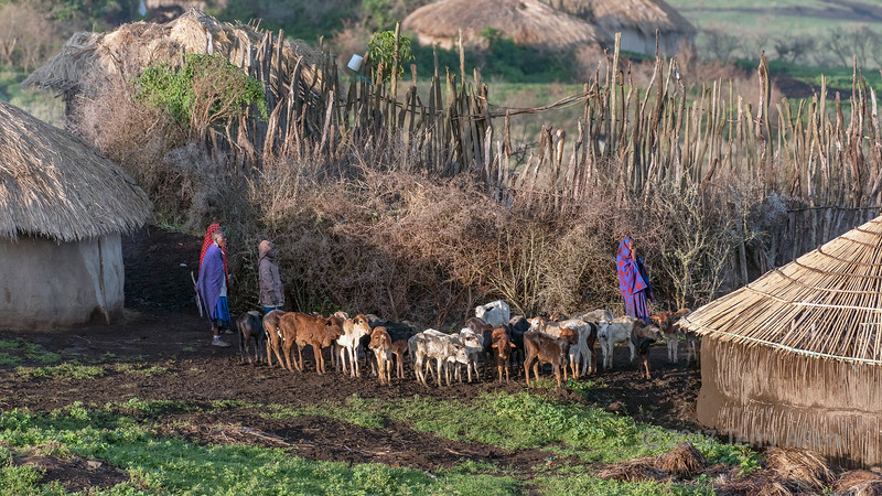 Nursing calves separated from their mothers durig milking, Maasai boma, Ngorongoro Conservation Area, Tanzania