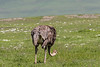 Female ostrich (Struthio camelus) grazing in a wildflower meadow, Ngorongoro crater, Tanzania