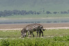 Two zebras grazing side by side in the spring wildflowers, Ngorongoro Caldera, Tanzania