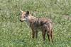 African golden wolf (Canis anthus bea) alert pose, in spring wildflowers, Ngororongoro Caldera, Tanzania