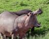 Hippo (Hippopotamus amphibius) in fresh grass in daylight, Ngorongoro Caldera, Tanzania