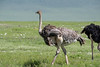 Female ostrich (Struthio camelus), in spring wildflowers, Ngorongoro caldera  with the caldera rim in back, Tanzania