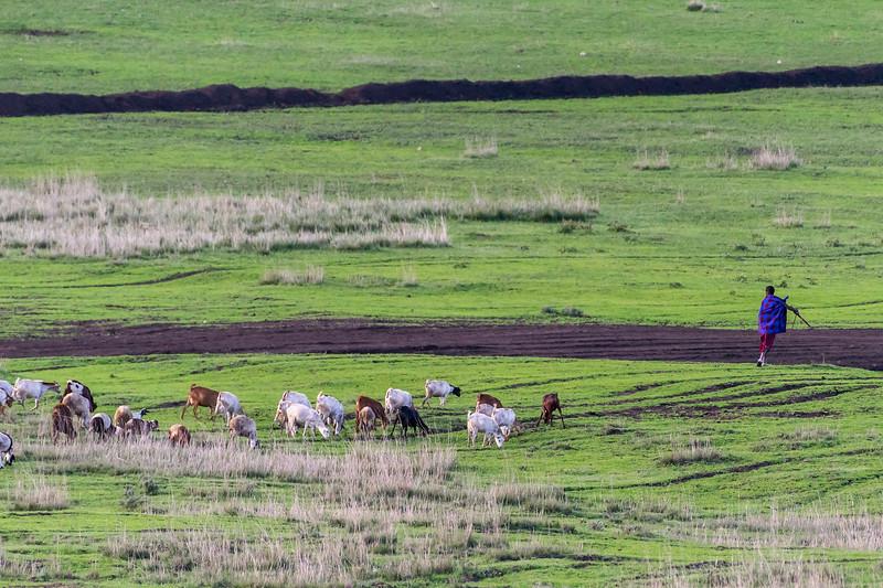 Maasai warrior herding his cattle, Ngorongoro Conservation Area, Tanzania